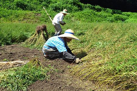 収穫中の「まめ茶」