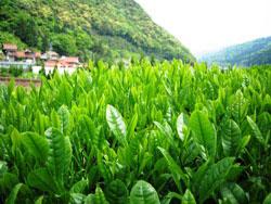 1.茶摘み