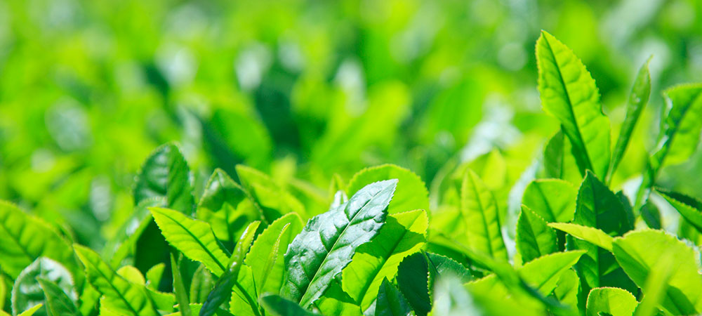津和野茶の歴史